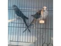 Selection of parrakeets for sale
