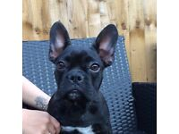 8 month old male French bulldog for sale
