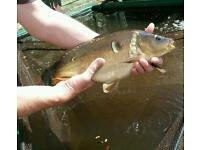Mirror carp approximately 16 inches