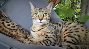 Purebred Bengal brown spotted entire female