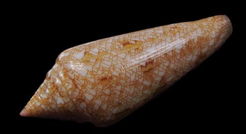 Sea shells - Conus gloriamaris 75mm