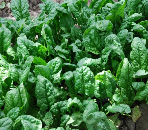Spinach Seeds Giant Noble 100+ Vegetable Garden NON-GMO USA FREE SHIPPING