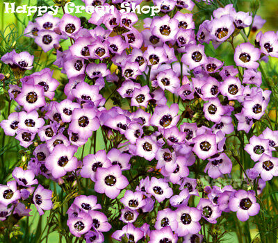 Bird's Eyes - 1100 seeds - Gilia tricolor - Landscaping Flower