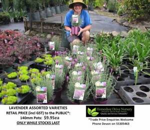 Lavender  - Assorted Varieties Fragrant & Easy to Grow HS049 Mudgeeraba Gold Coast South Preview