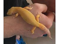 Albino Female Gecko / lizard with full set up