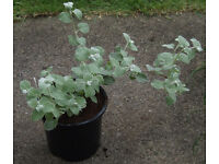 HELICHRYSUM SILVER MIST in 1Lt pots at £1.00 each