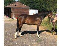 Welsh Sec C Yearling