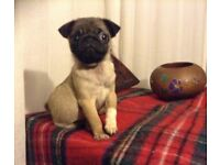 Beautiful KC registered female Pug puppy