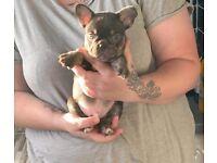 chocolate & tan french bulldog puppies