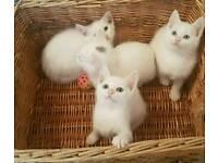 1 PURE WHITE MALE KITTEN