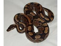 Royal python with full set up can deliver
