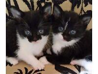 Beautiful female kittens ready now!
