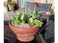 Auriculas in terracotta pot