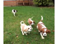 Cute cavalier King Charles puppies