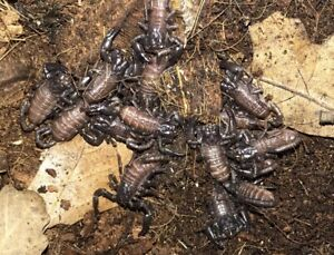 Scorpion | Reptiles and Amphibians in Canada | Kijiji