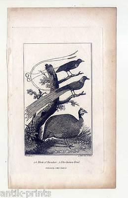 Paradiesvogel-Perlhuhn-Vögel-Ornithologie - Kupferstich 1800 Birds-Vogel
