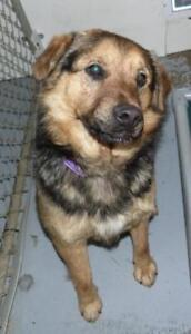 "Adult Male Dog - Shepherd-Collie: ""Carson"""