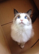 Forever home needed for rag doll Redcliffe Redcliffe Area Preview