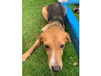 Beagle cross Labrador