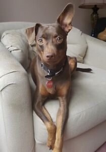 Bruno 2-3 year old min pin for adoption