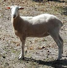 Wiltipoll ewes, 3, ideal hobby farm animals One Tree Hill Playford Area Preview