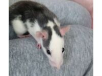 Female young rat