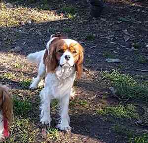 Cavalier king charles spaniel Canning Vale Canning Area Preview