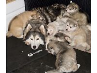 Stunning, Fluffy, Chunky, Siberian husky x German shepherd (GSD) x Alaskan Malamute x Inuit Puppies