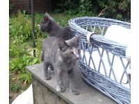 Kittens for sale various