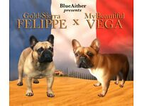 RARE Red Fawn French Bulldog Pus - KC Registered - Multi International Champion Line