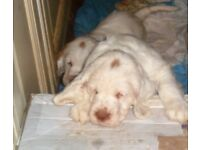 2 SPANIEL PUPS; IST INJECTION & MICROCHIPPED. HAND REARED. READY 19TH DEC
