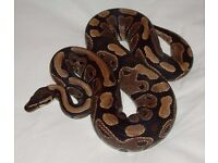 female ball python with tank and accessories £150