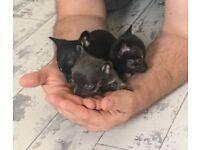 Tiny blue chihuahua puppys