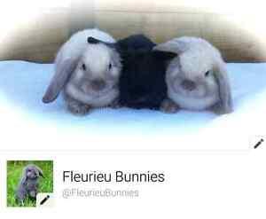 Fleurieu Bunnies - 6 Mini Lops for sale! Victor Harbor Victor Harbor Area Preview