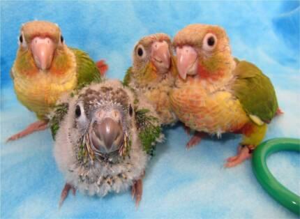 Baby Green Cheek Conures