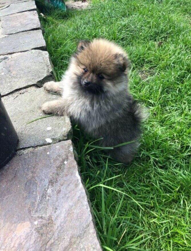 Purebred Pomeranian puppies for sale | in Dungannon, County Tyrone | Gumtree