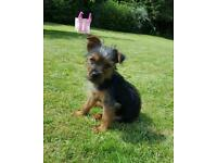 Yorkshire terrier x jack russell puppy