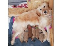 Rare F1BB Miniature Goldendoodles Red/Apricot