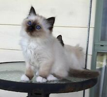 Two Gorgeous Birman babies seeking forever home SOLD!! Nyora South Gippsland Preview