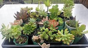 Little Succas Succulents Sheffield Kentish Area Preview