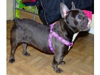 French bulldog females, KC reg, brown carrying blue & cream, blue carrying tan.