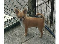 kc registered male long coat chihuahua