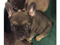 French bulldog. Blue tan