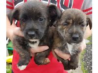Jackrussel x Yorkshire terrier puppy