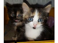 3 Lovely Female Kittens - Ready to be viewed today
