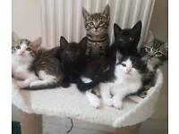Kittens For Sale.. Tabby100 black60