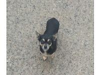 Super tiny chihuahua girl and boy chihuahua puppy