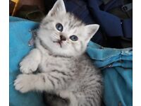 Pedigree silver tabby/spotted British shorthaired kittens