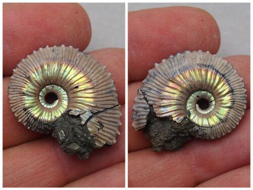 34mm Kosmoceras Pyrite Ammonite Fossils Fossilien RYAZAN Russia lot
