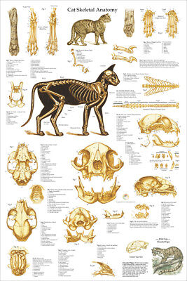 Cat Feline Veterinary Skeletal Anatomy Poster 24 X 36 Wall Chart ()